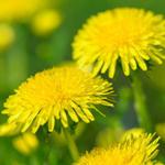 Трава, убивающее раковые клетки - альтернатива традиционной медицине